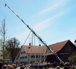 The Maibaum is set up with many helping hands.