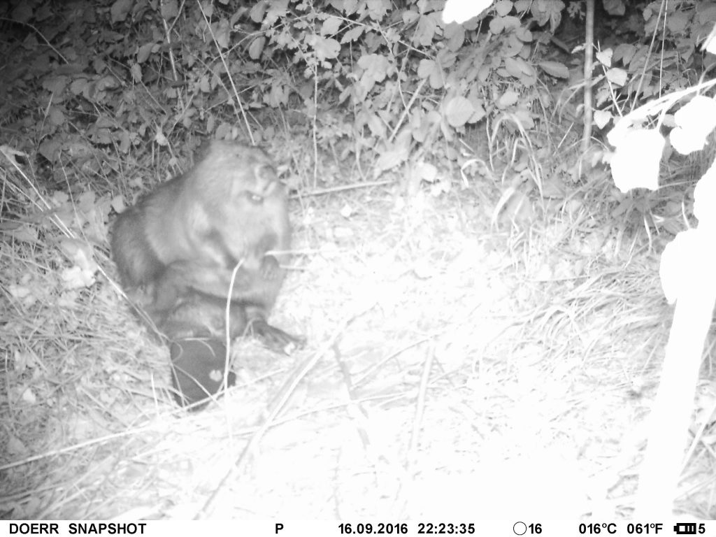 Pictured is the beaver who has made Soldiers Lake his residence -- Klaus der Baumeister. This photo was taken with a motion-sensitive night-vision camera courtesy of U.S. Army Garrison Ansbach's Directorate of Public Works.