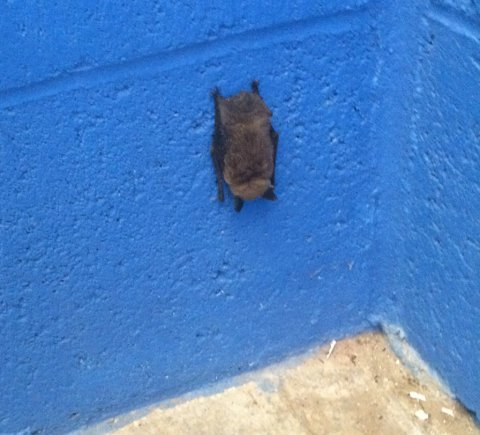 One potential danger to leaving windows open overnight in offices or attics: Bats!