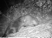 Pictured are the beavers who have made Soldiers Lake their residence — Klaus der Baumeister and Sabine die Baumeisterin. This photo was taken with a motion-sensitive night-vision camera. (Photo courtesy of the Directorate of Public Works)