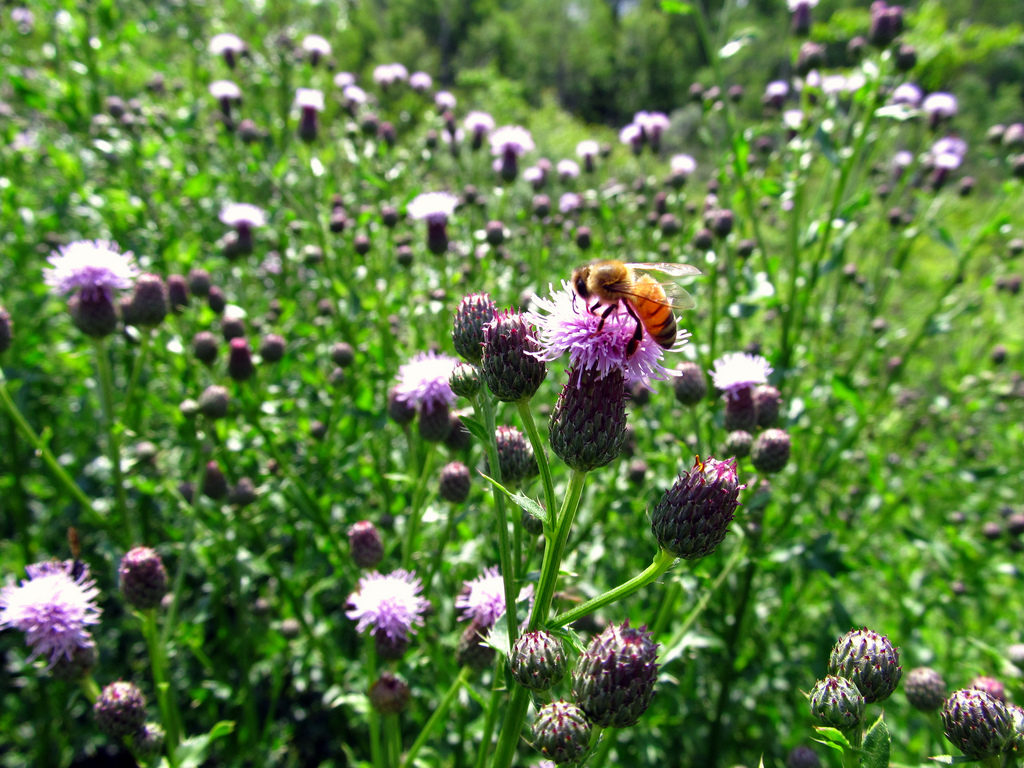 The honeybee: indispensable for nature and mankind