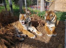 Tigers at the Raubtier & Exotenasyl (Photo credit Raubtier & Exotenasyl Wallersdorf)