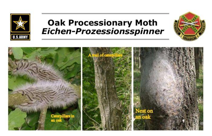 Oak Processionary Moths advancing on Ansbach