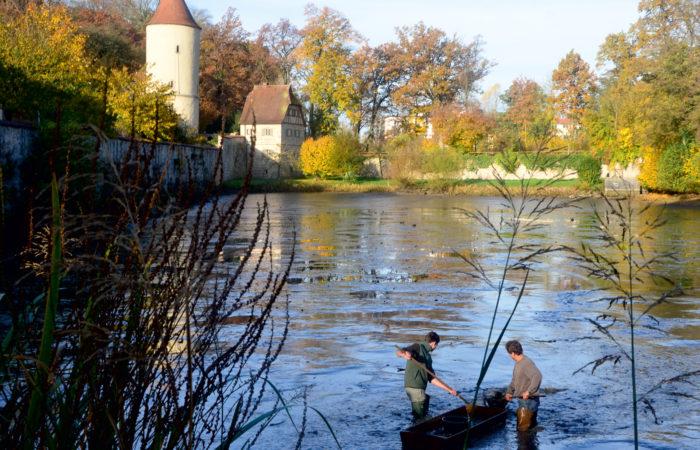 Fish Harvest in Dinkelsbühl (Photo courtesy of Stadt Dinkelsbühl)